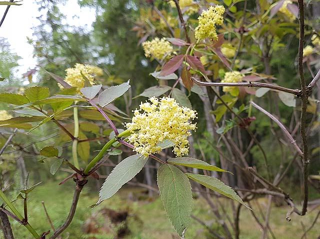 Bjrns blog flowers of kullfallet a bush with tiny yellow flowers that smell good gives inedible red berries mightylinksfo